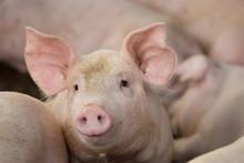 Hog Waiting Feed. Pig Indoor O...