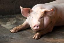 Group Of Hog Waiting Feed. Pig...