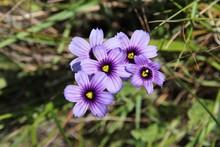 Sisyrinchium Bellum Flowers In...