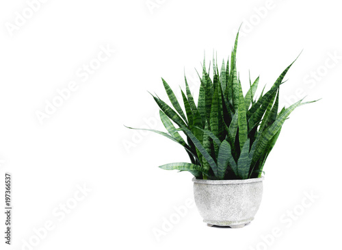 Fotografie, Obraz  Green potted plant, trees in the cement pot isolated on white background