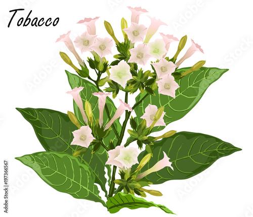 Tobacco (Nicotiana tabacum)  Hand drawn realistic vector