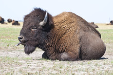 Big Bison In The Steppe