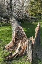 Fallen Large Tree In City Park...