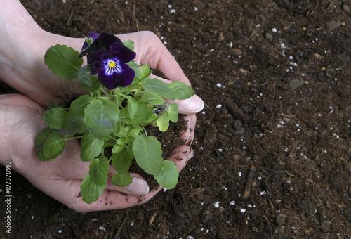 Pansies Woman planting pansy viola flowers in dirt