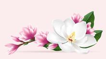 Pink Magnolia Flowers. Realist...
