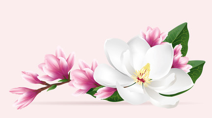 Obraz na SzklePink magnolia flowers. Realistic vector brush illustration of two blloming magnolia branches isolated on light background.