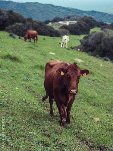 Deurstickers Koe Brown cow pasturing on hill