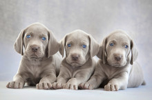Three Puppies Of Weimaraner On...