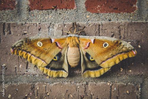 Photo Antheraea Polyphemus Giant Silk Moth on Brick
