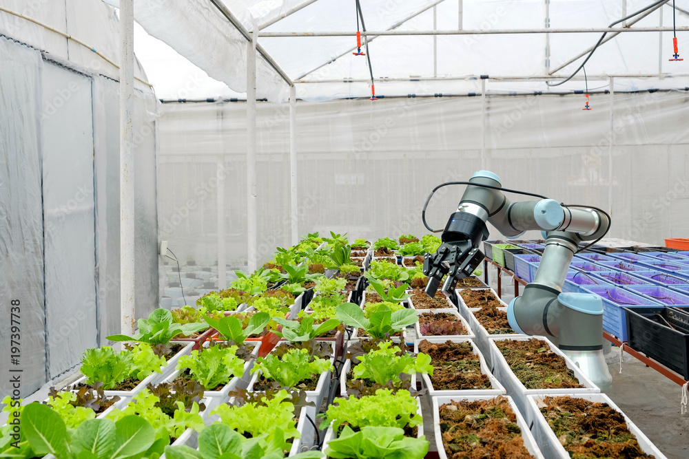 Fototapety, obrazy: Modern organic farmhouse adopts the technology of robotic industry to apply for used in vegetable plots to work and help harvest on  concept of Smart Farming  4.0 and Industry 4.0.