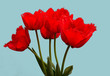 Fowers, red tulips. .