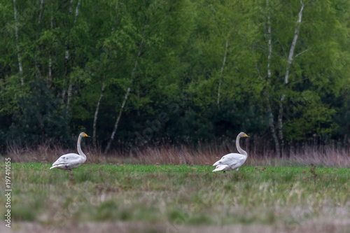 Para łąbędzi krzykliwych siedzi na polu, tło zielony las, żółto-czarny dziób - 197410155