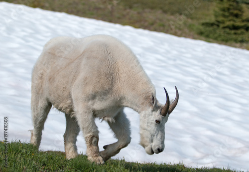 Photo  Male Billy Mountain Goat on snow on Hurricane Ridge in Olympic National Park in