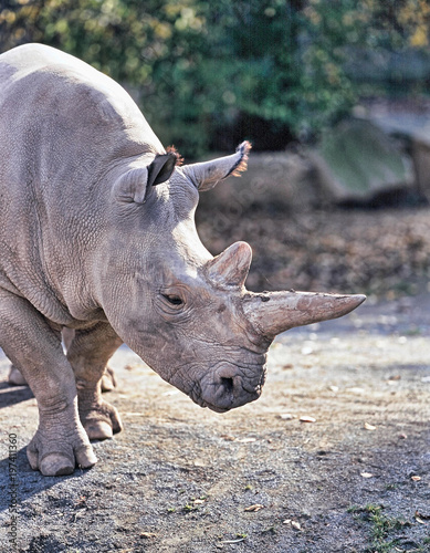 Northern White rhinoceros, Ceratotherium simum cottoni, today only the last two rhinos