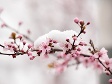 Fruit Tree Blossom Covered Wit...