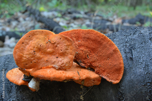 Valokuvatapetti Pycnoporus cinnabarinus, also known as the cinnabar polypore