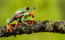 Red Eyed Tree Frog Climbing Over His Friend On A Branch
