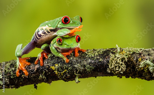 Canvas-taulu Red eyed tree frog climbing over his friend on a branch