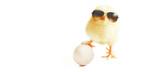 Fototapeta Animals - Ostern Küken Motiv