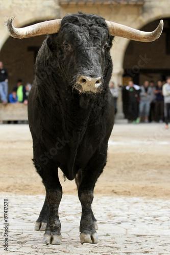 Photo bull