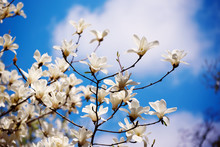 Blossoming Of Magnolia White Flowers In Spring Time Against Blue Sky, Natural Seasonal Background