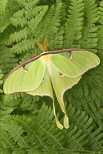Luna Moth On Fern