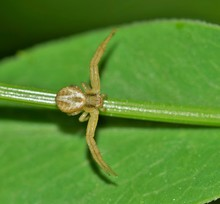 A Tiny Crab Spider Is Out Hunt...