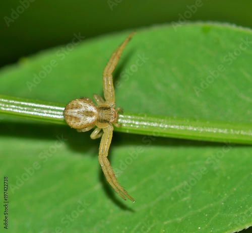 A tiny crab spider is out hunting for equally tiny prey along a plant stem Canvas Print