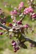 arbre fruitier pommiers fleurs printemps