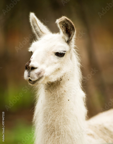Poster Lama Lone Domestic Llama Farm Livestock Animals Alaska