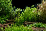 Aquarium plants decoration, aquatic fern and aquarium plant growth in aquarium tank.