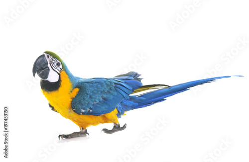 Photo Blue-and-yellow macaw in studio