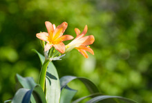 Clivia Miniata Blooms