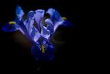 Spring, blue iris flower on a dark background