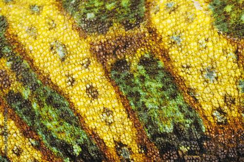Poster Chamaleon Haut eines Chamäleons / Jemenchamäleon (Chamaeleo calyptratus)