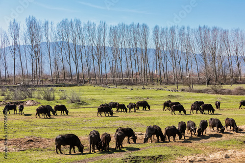 Valokuva  Buffalo grazing next to the river Strymon in Northern Greece.