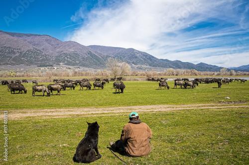 Fényképezés  Buffalo grazing next to the river Strymon in Northern Greece.