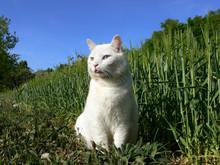 Weiße Katze Mit Zwei Verschie...