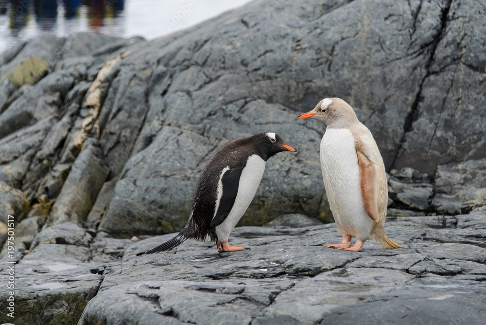 Two gentoo penguins - black and grey