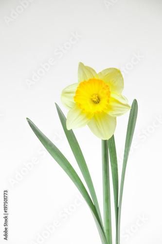 Fotobehang Narcis 黄色いラッパスイセン
