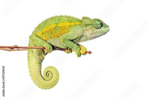 Fotobehang Kameleon Raues Bergchamäleon (Trioceros rudis) - coarse chameleon