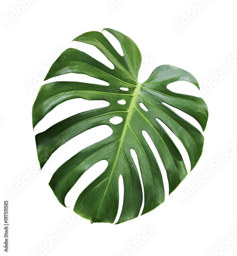 Valokuvatapetti Monstera deliciosa tropical leaf isolated on white background with clipping path
