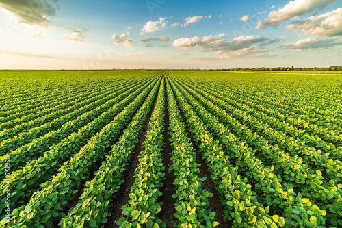 Obraz Green ripening soybean field, agricultural landscape - fototapety do salonu