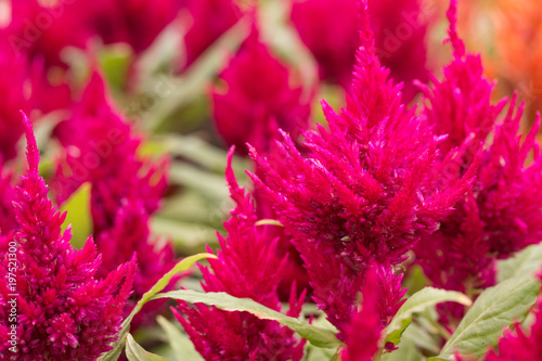 Fotografie, Obraz  Beautiful flower in the park. Cockscomb, Chinese Wool Flower.