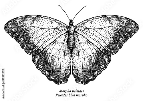 Valokuva Morpho peleides, Peleides blue morpho, illustration, drawing, engraving, ink, li