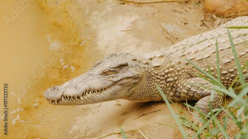 Foto op Plexiglas Krokodil Crocodiles Resting at Crocodile Farm in Vietnam.