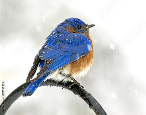 Valokuva snowbird in storm