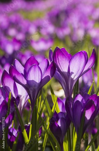 Lila Blumen - Lila Krokusse (Crocus) - lichtdurchflutet