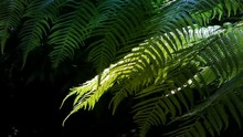 Native New Zealand Silver Tree Ferns (ponga Or Punga In The Maori Language), Moving In The Wind In A Sub-tropical Rain-forest. The Silver Fern Is A National Symbol Of New Zealand.