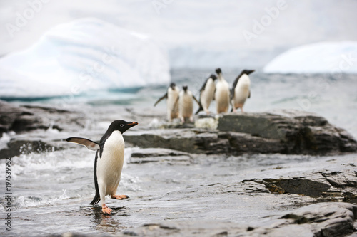 Penguin looking over longingly at a group of penguins he wishes to join.
